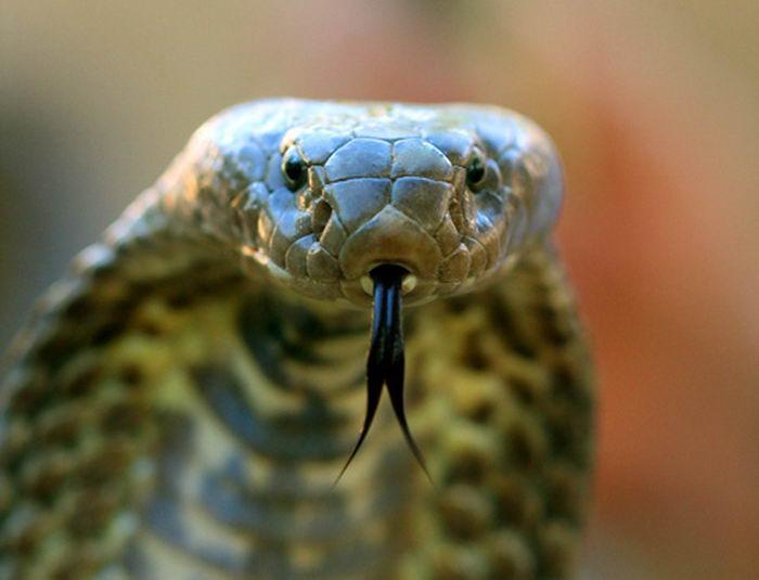 Житель Индии попытался сыграть свадьбу со змеей