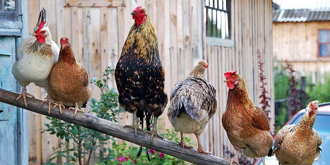 Верховный суд запретил разводить кур на садовом участке
