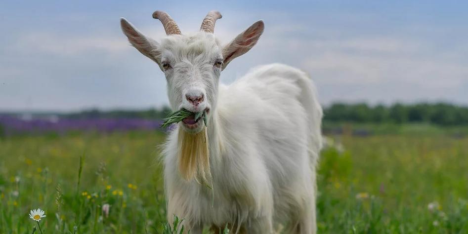 Индийские полицейские арестовали козу, ходившую без медицинской маски