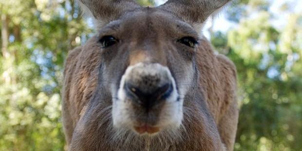 В Австралии кенгуру разбил окно и запрыгнул в постель к супружеской паре