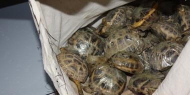 Сибирские таможенники конфисковали контрабандных черепах