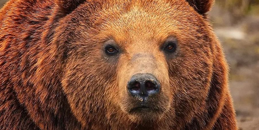 Большинство россиян считают медведя подходящим символом для страны