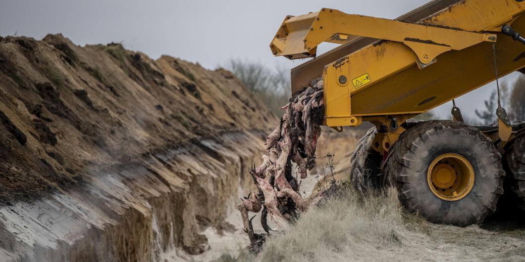 """В Дании выкопают и сожгут миллионы """"коронавирусных"""" норок, поднимавшихся из могил"""