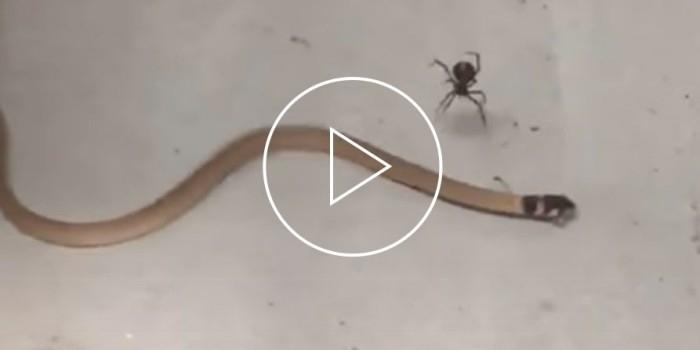В австралийском магазине засняли битву змеи и паука
