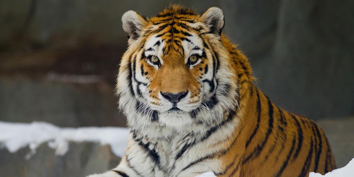 Водителю из  Хабаровска грозит штраф 2 миллиона за сбитого амурского тигра