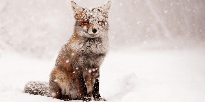 Домашняя лиса приняла простыню за снег
