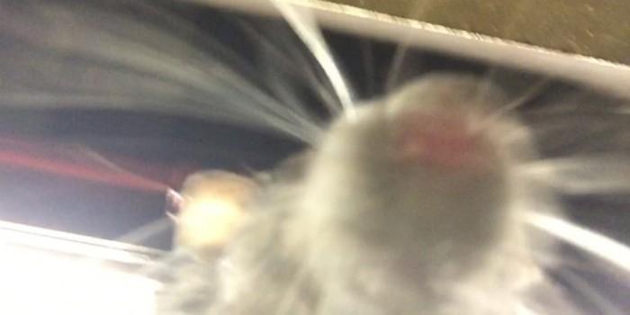 В нью-йоркском метро крыса сделала селфи на спящем мужчине