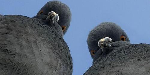 Из России в Таджикистан депортировали пару голубей