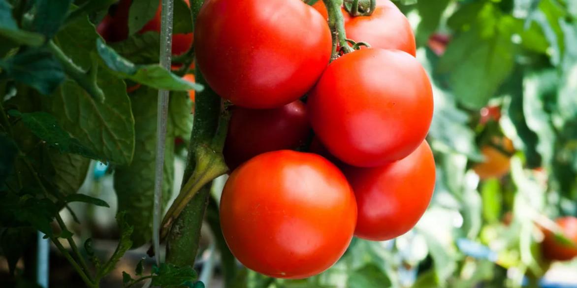 Казахстан грозится ответить России на запрет ввоза томатов