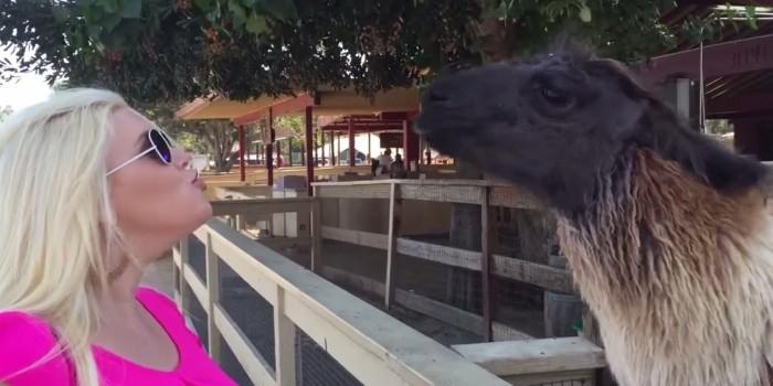 Блондинка пыталась поцеловать ламу, но та плюнула ей в лицо (ВИДЕО)