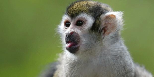 В Челябинске поймали обезьяну-беглянку