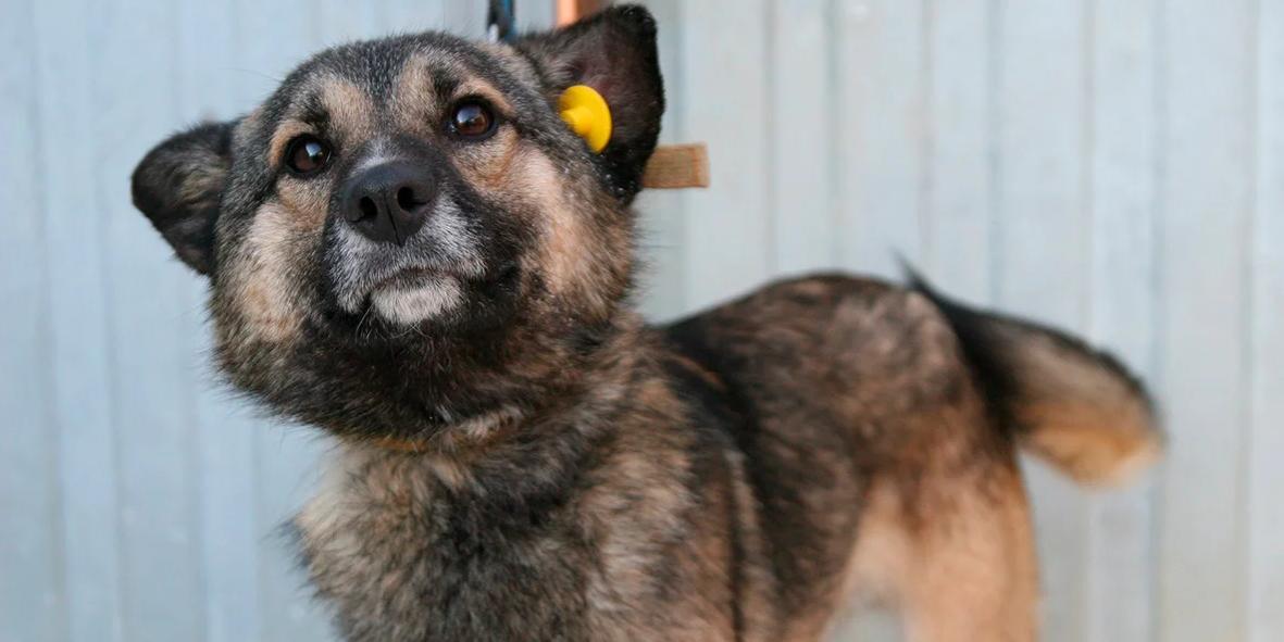 В Госдуме предложили ввести обязательное чипирование собак