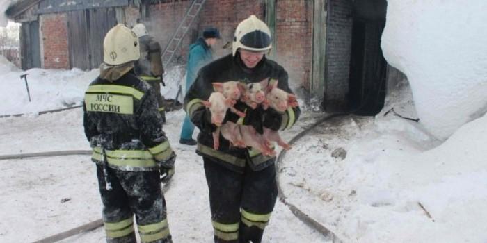 В Томской области пожарные вынесли на руках 150 поросят из горящего свинарника