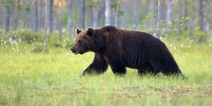 Новосибирские спасатели просят не делать селфи с вышедшим из лесу медведем