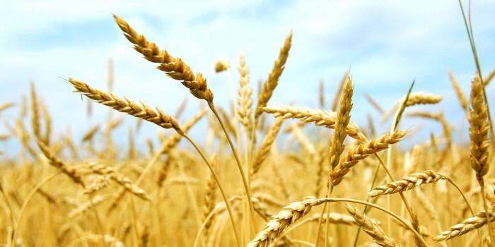 Bloomberg: дешевая российская пшеница вытесняет США с рынка зерна