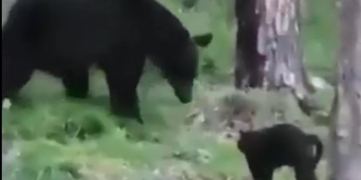 Домашний кот в Якутии прогнал медведя и спас своих хозяев