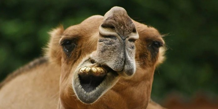 В Астраханской области стадо верблюдов растоптало автомобиль с пассажирами