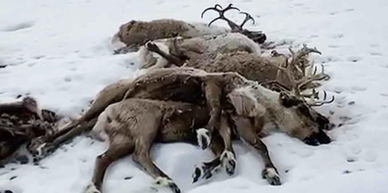 На Камчатке от голода погибли сотни оленей