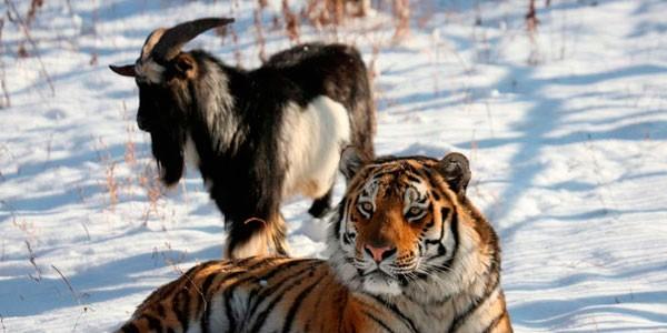 В отношениях козла Тимура и тигра Амура поставлена точка