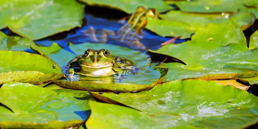 Французы выселяют лягушек из пруда за слишком громкое кваканье