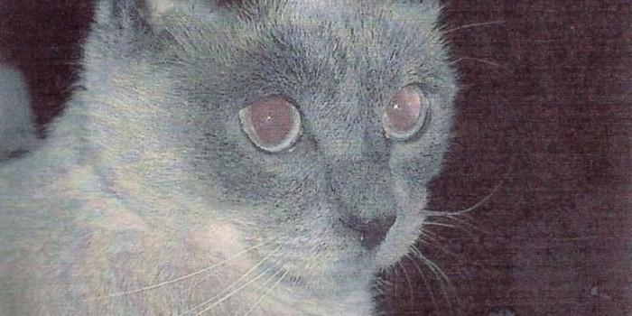 Сиамский кот-долгожитель попал в Книгу рекордов Гиннесса