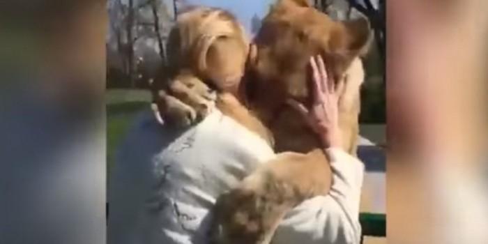 Видео дня: львицы вспомнили вырастившую их хозяйку спустя 7 лет разлуки