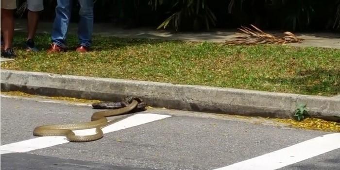 Схватка питона и кобры на улице Сингапура стала хитом YouTube (ВИДЕО)