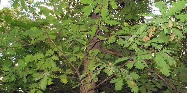 Барнаулец вырубал в дендрарии полувековые дубы, чтобы изготовить веники на продажу
