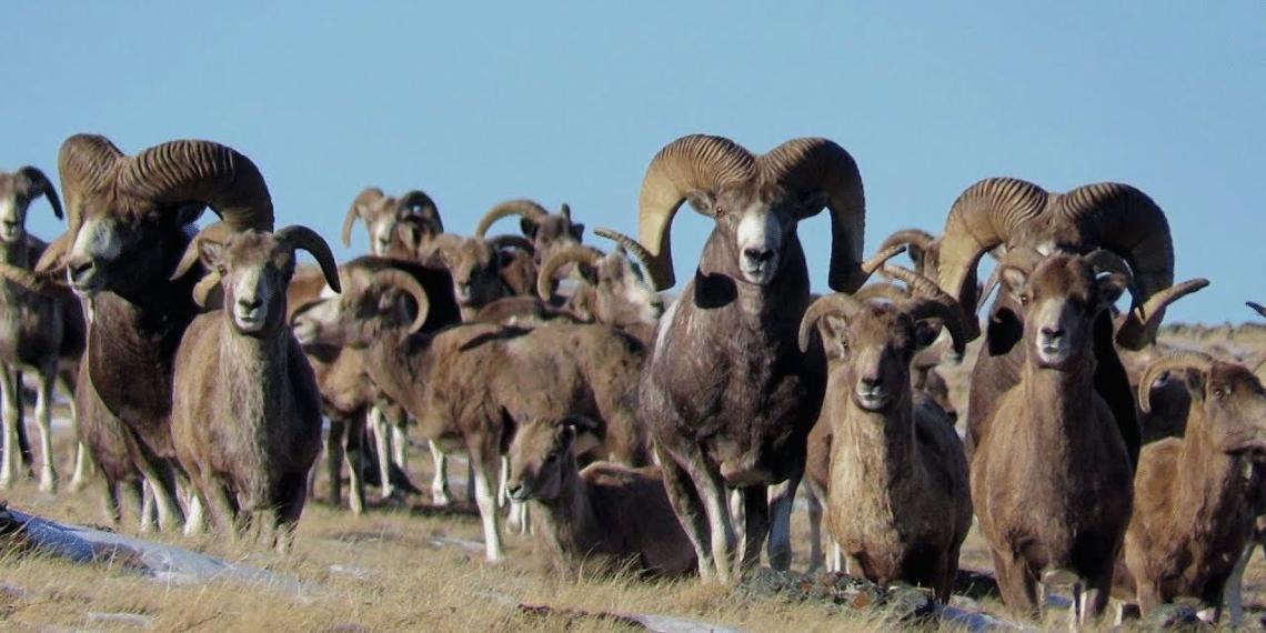 На Алтае эколога поймали во время охоты на краснокнижных баранов