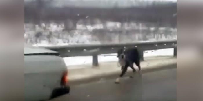 Под Тулой автовладелец выгуливал привязанную к бамперу собаку