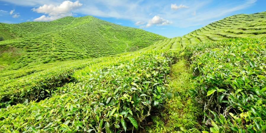 Поручения президента защитят плантации чая на Кубани от застройщиков