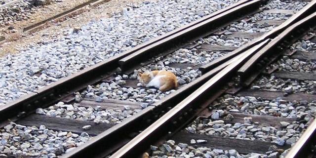 В Нидерландах машинист остановил поезд, чтобы спасти раненую кошку