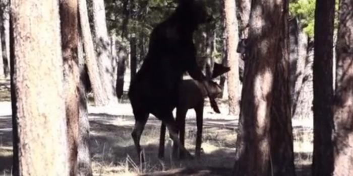 Видео дня: лось пытается спариться со статуей лося