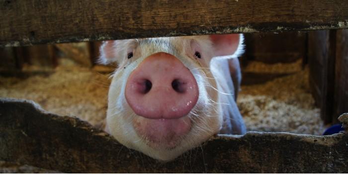 В Кирове ГИБДДшники задержали свинью