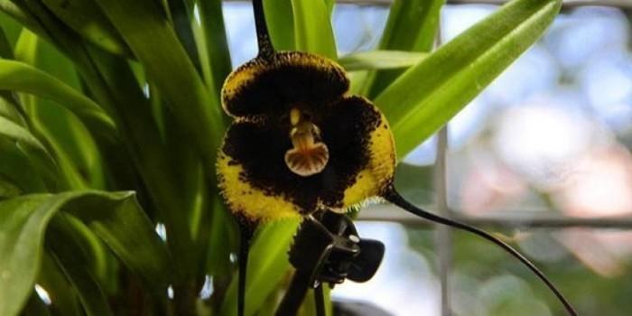 Черная орхидея Дракула Влад Цепеш расцвела в Москве