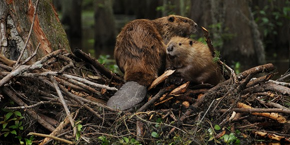 Эстония защитит Евросоюз от России уничтожением бобровых плотин