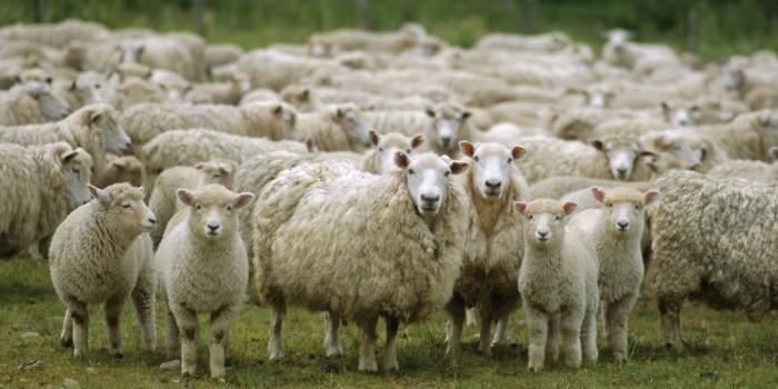 В Кемеровской области 1000 овец раздадут многодетным семьям