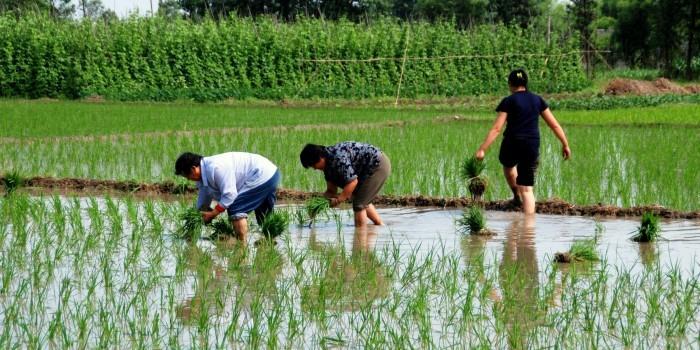 Через 60 лет из-за потепления в Сибири будут выращивать рис и виноград