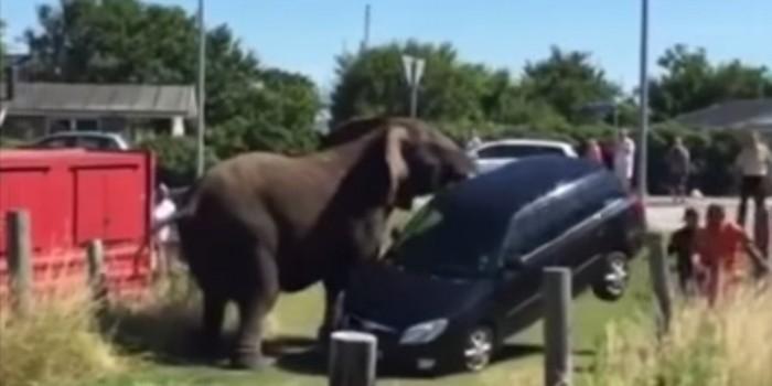 """Датские цирковые слоны устроили бунт и разбили """"Шкоду"""" (ВИДЕО)"""
