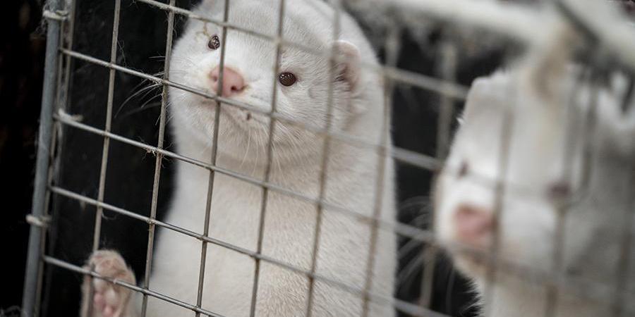 Крупнейший в мире производитель меха уходит с рынка после массового убийства норок в Дании