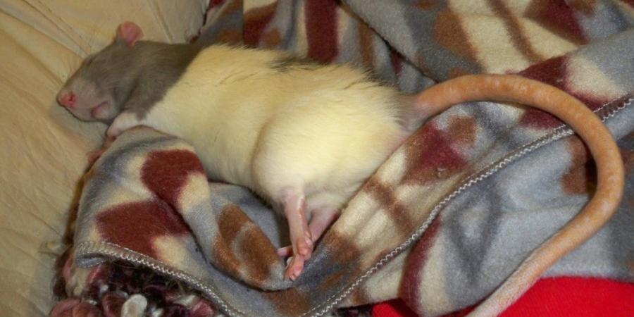 Жена откусила пенис мужу, отказавшемуся выгонять крысу из спальни