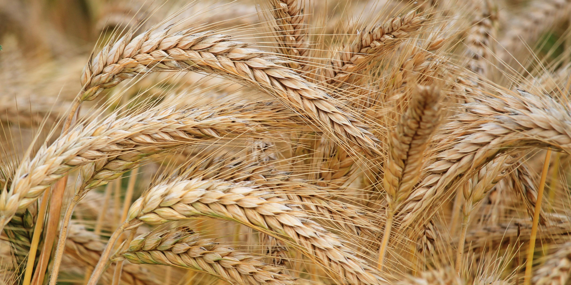 Экспортеры перестали закупать российскую пшеницу