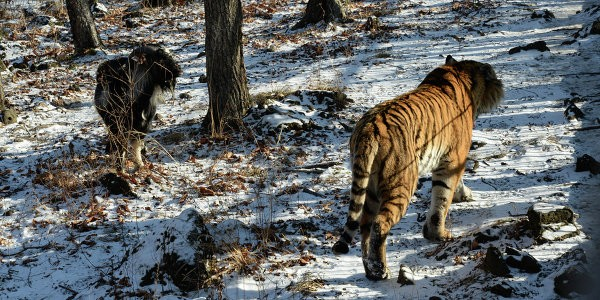 Козел Тимур предпочел невестам тигра Амура