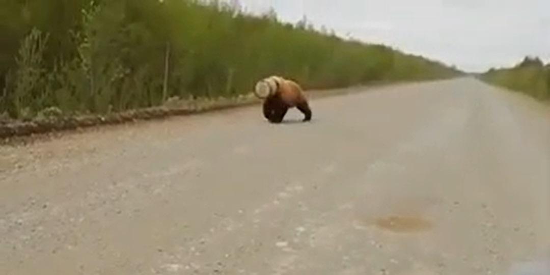 На Камчатке сняли медведя с бидоном на голове