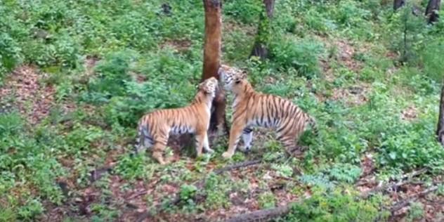 В сафари-парке тигра Амура поздравили с первым сексом