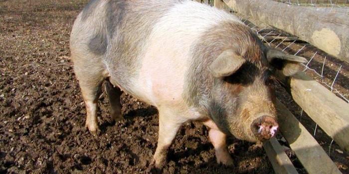 В Брянске свинья треснула пополам от нанокормов