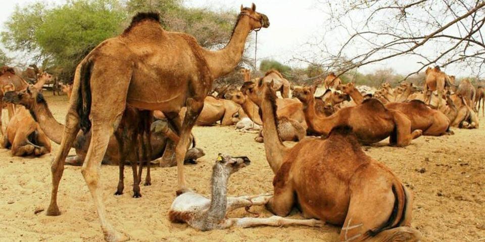 """Партия """"Зеленая альтернатива"""" обратилась к властям Австралии с просьбой не убивать тысячи верблюдов"""